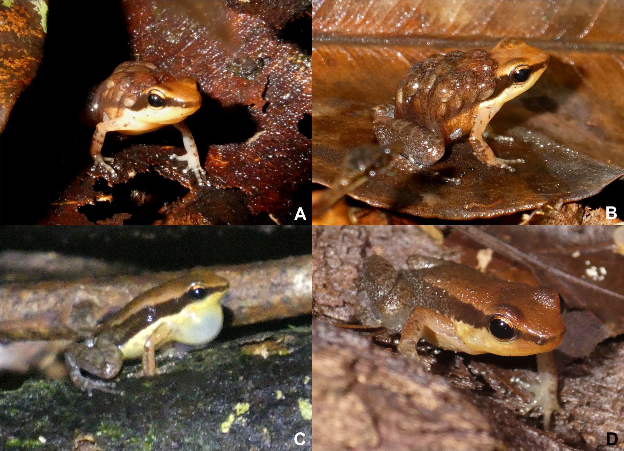 Allobates grillicantus
