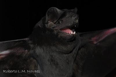 Molossus II