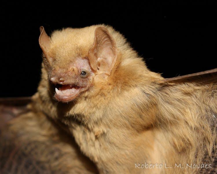 Vespertilionidae II